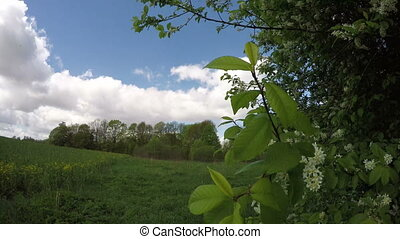 spring wind and bird cherry branch