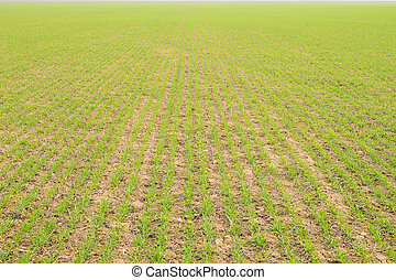 Spring winter wheat field