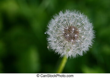 spring wish dandelion macro close up