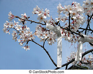 Detail of a cherry blossom twig with wishes papers on it-Japanese spring image. Selective focus on the left flowers.