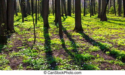 spring wood landscape with white flowers anemones - slider dolly shot in RAW