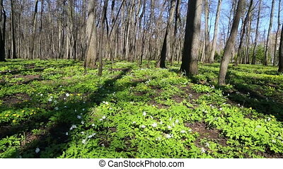 spring wood landscape with white flowers anemones - slider dolly shot
