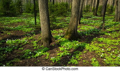 spring wood landscape with white flowers anemones - pan shot in RAW