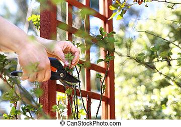 Spring work in the garden. Gardening. Care of rose bushes.