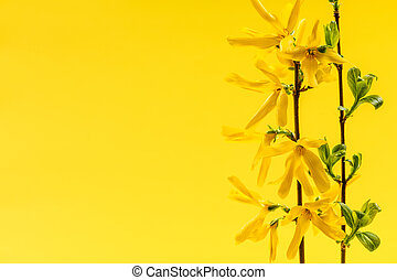 Spring yellow background with forsythia flowers