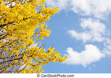 Beautiful spring with yellow blossom over blue sky. With room for your text.