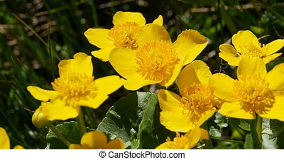 spring yellow flower marsh marigold - spring yellow ...