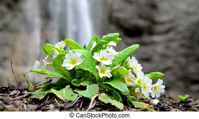 Spring yellow flower (Primula vulgaris) on the waterfall...