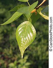 Spring. Young glutinous poplar leaf - Spring. Melting...