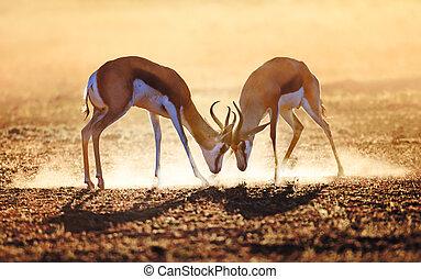 springbok, 二重, 中に, ほこり
