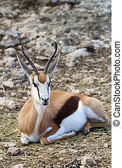 Springbok 2 - A Springbok rests in the savannah.