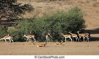 springbok, alimentation, antilopes