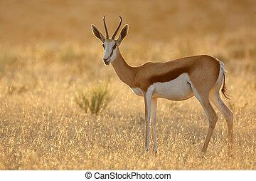 springbok, amanhecer