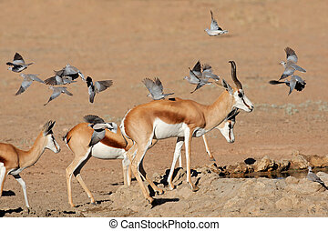Springbok and doves - Springbok antelopes (Antidorcas...