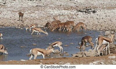 Springbok and impala antelopes drinking at a waterhole,...