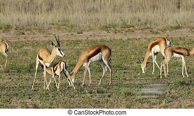 Springbok and lamb - Grazing springbok antelopes (Antidorcas...