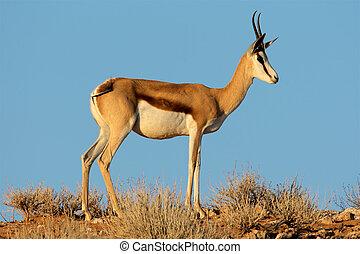 Springbok antelope - A female springbok antelope (Antidorcas...