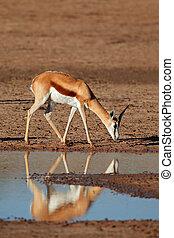 Springbok antelope - A springbok antelope (Antidorcas...