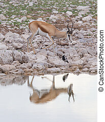Springbok antelope (Antidorcas marsupialis), Etosha National...