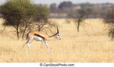 Springbok antelope (Antidorcas marsupialis) in it's natural...