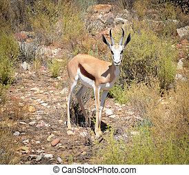 Springbok antelope (Antidorcas marsupialis), South Africa. -...