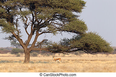 Springbok antelope (Antidorcas marsupialis) under a tree in...