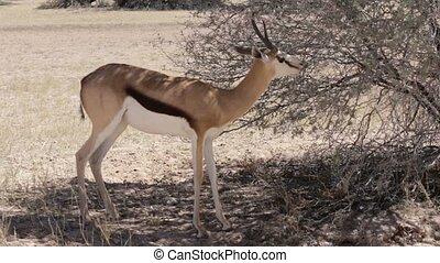 springbok antelope grazing - Portrait of springbok antelope...