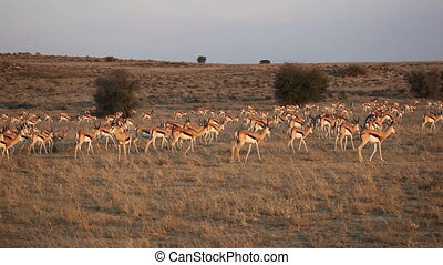 Springbok antelope herd - Large herd of springbok antelopes...