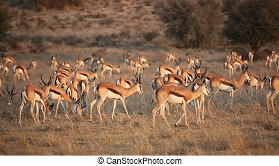 Large herd of springbok antelopes (Antidorcas marsupialis) walking over the plains, Kalahari desert, South Africa