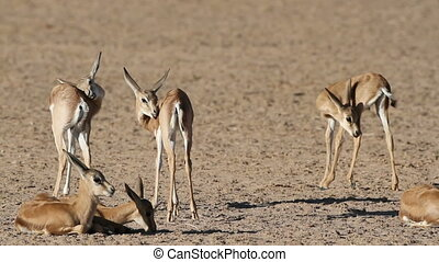 Springbok antelope lambs - Group of small springbok antelope...