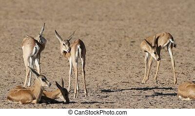 Springbok antelope lambs - Group of small springbok antelope...