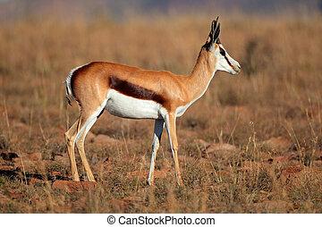 Springbok antelope - Side view of a springbok antelope...