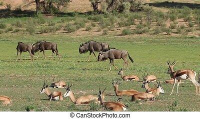Springbok antelopes and blue wildeb - Herd of springbok...