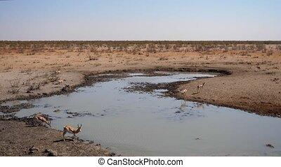 Springbok Antelopes at Olifantsrus Waterhole in Etosha NP, Namibia