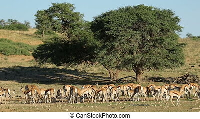 Springbok antelopes at waterhole