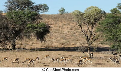 Springbok antelopes feeding - Herd of springbok antelopes...