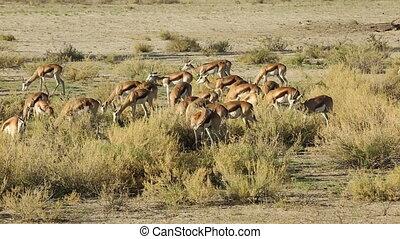 Springbok antelopes feeding - Herd of springbok antelopes...