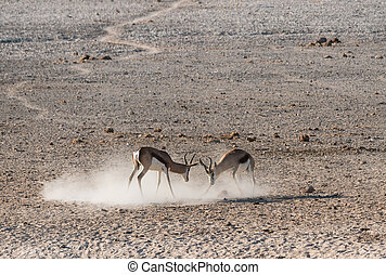 Springbok Antelopes Fighting in Etosha National Park, Namibia