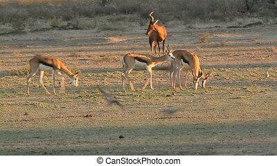 Springbok antelopes (Antidorcas marsupialis) walking with...
