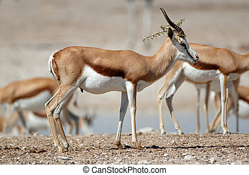 Springbok antelopes in natural habitat - Springbok antelopes...