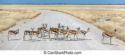 Springbok antelopes - Namibia - Africa