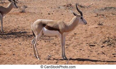 Springbok Antelopes Standing at Waterhole in Etosha NP, Namibia