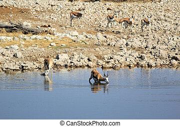 Springbok (Antidorcas Marsupialis), Etosha National Park,...