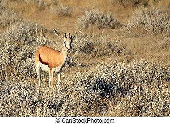 Springbok (Antidorcas Marsupialis ), Etosha National Park,...