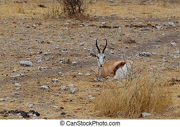 Springbok Antidorcas marsupialis, Etosha national Park,...