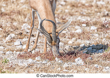 Springbok, Antidorcas marsupialis, grazing - Close-up of a...