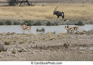Springbok, Antidorcas marsupialis, group, Namibia, August...