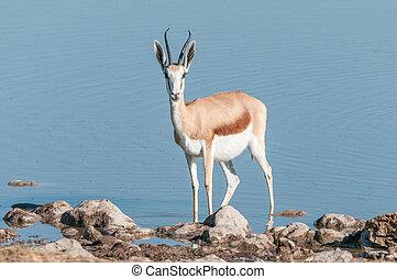 Springbok (Antidorcas marsupialis) in a waterhole - A...