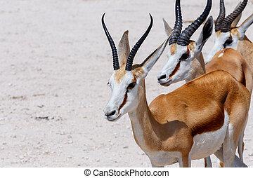 Springbok Antidorcas marsupialis in Etosha, Namibia -...