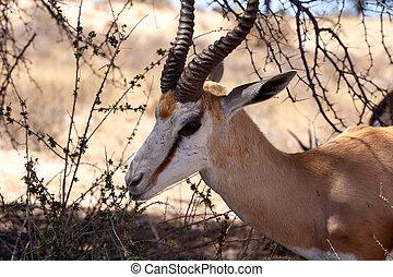 Springbok Antidorcas marsupialis in Kgalagadi - Close up...